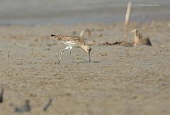 Busy in the Business... (Anirban Sinha 80) Tags: nikon d610 fx 500mm f4 ed vrii n g 17tc 850mm bird beak curlew sandy sea beach natural hunting
