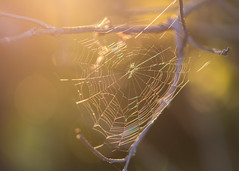 wondrous web (Emma Varley) Tags: web spider goden rainbow evening light backlit dreamy magical