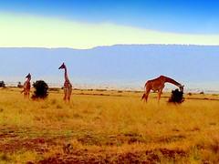 Kenya, Masai Mara National Reserve. Jiraffe Family (dimaruss34) Tags: newyork brooklyn dmitriyfomenko image sky clouds kenya svetlanafomenko masaimaranationalreserve animal grass trees field jiraffe
