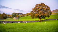 A yorkshire scene... (Lee Harris Photography) Tags: landscape countryside autumn field grass tree trees wall barn outdoor contrast orange october yorkshire dales uk sheep light colours