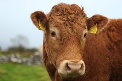 Young Limousin bullock (flxnn) Tags: cattle animal animals bovine closeup ireland amateur candid portrait beauty countryside eyes head headshot beast young brown snout 2018 europe farming livestock grassland agriculture domestic beef limousin breed