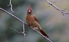 On The Lookout (Diane Marshman) Tags: northern cardinal male immature young medium size bird red rusty brown feathers wings tail black face mask fall pa pennsylvania nature wildlife