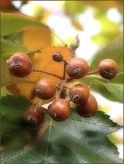 (Tölgyesi Kata) Tags: sorbus berkenye arboretum budaiarborétum withcanonpowershota620 garden kert fa budapest autumn ősz fruit termés