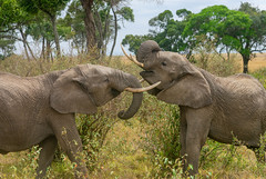 Elephants sparring (djmeister) Tags: elephants kenya masai mara sparring