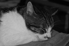 9292.Grigri (Greg.photographie) Tags: grigri mistigri sony alpha alpha3000 minolta rokkor qf rokkorqf macro 50mm f35 chat cat blackandwhite bw noiretblanc