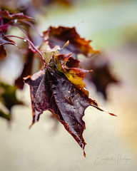 Still Hanging On (Betty Hodges) Tags: ilce7m3 seasons macro fallleaves colourful trees autumn fall greenlandgardencentre leaves