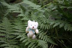 Bear and Fern (Ichigo Miyama) Tags: bear fernクマとシダ ぬいぐるみ fern 葉 leaf 植物 ぬい撮り クマ シダ