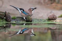 Gaai-7667 (lucvereecken) Tags: glenn kalmthout bosvogels oktober