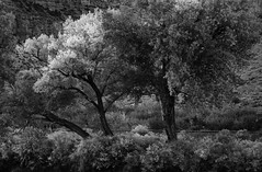 Trees at Twilight (arbyreed) Tags: arbyreed monochrome bw blackandwhite trees fall twilight dark railroad railroadtracks canyon mesacountycolorado