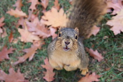 Fox Squirrels in Ann Arbor at the University of Michigan - November 12th, 2018 (cseeman) Tags: gobluesquirrels squirrels foxsquirrels easternfoxsquirrels michiganfoxsquirrels universityofmichiganfoxsquirrels annarbor michigan animal campus universityofmichigan umsquirrels11122018 fall autumn eating peanuts acorns novemberumsquirrel
