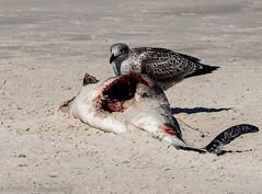 Möwenfutter - Seagulls food (hwl.weber) Tags: nikond750 fx dänemark schweinswal möwe strand sand wasser nordsee vogel outdoor