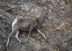 SureHooved (TW Olympia) Tags: bighorn sheep colorado rockies