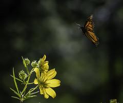 MonarchButterfly_SAF6534 (sara97) Tags: danausplexippus butterfly copyright©2018saraannefinke endangered insect missouri monarch monarchbutterfly nature photobysaraannefinke pollinator saintlouis towergrovepark
