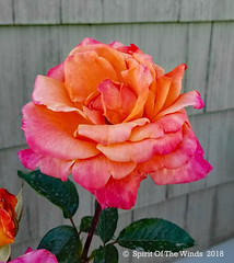 The Rose (jimgspokane) Tags: roses spokanewashingtonstate flowers today´sbest