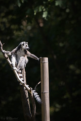 Ring tailed lemur (Cloudtail the Snow Leopard) Tags: katta tier animal mammal säugetier affe monkey ring tailed lemur catta tierpark berlin