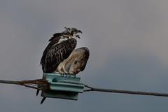 Eastern Osprey (RoosterMan64) Tags: australia bird birdofprey easternosprey nature osprey queensland tropicalnorthqueensland wildlife