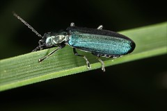 Ischnomera sp. (chug14) Tags: macro insecte unlimitedphotos nature naturephotography animalia arthropoda hexapoda insecta coleoptera oedemeridae oedemerinae asclerini ischnomera