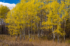 Autumn Birch Blessings-5749.jpg (bryanstewartcreative) Tags: bryanstewartcreative birch trees forest woods grass nature landscape naturephotography landscapephotography golden yellow autumn leaves farm fields birchtrees contrast saturated fall wood tree nikond750 d750 nikon