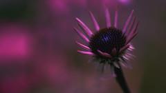 Autumn Bokeh (Renate Bomm) Tags: blüte ef100mmf28lusm flora herbst macroorcloseup renatebomm sonnenhut sonyilce6000 autumn bokeh pink rotersonnenhut leuchten