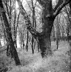 plait tree (salparadise666) Tags: mamiya c330 sekor 80mm orange filter fomapan 100 caffenol rs 13min nils volkmer vintage analogue tlr medium format film camera 6x6 france ardeche region cevennes mirabel bw black white monochrome nature landscape rural square