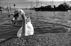 Runny Nose (Westhamwolf) Tags: swans black white bw sea water christchurch england dorset boats