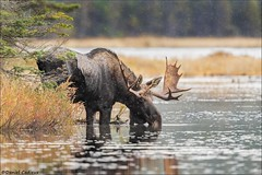 Big Bull Moose. (Daniel Cadieux) Tags: moose mammal pond lake thirsty drink drinking autumn fall algonquinpark ontario wildlife antlers