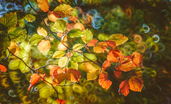 Autumn Series - 11 (Dhina A) Tags: sony a7rii ilce7rm2 a7r2 a7r minolta rf rokkorx 250mm f56 mirror reflex minolta250mmf56 md prime rokkor bokeh manualfocus autumn series leaves park colors fall