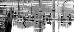 Swamp Geese (Eat With Your Eyez) Tags: swamp lake water canadian geese birds avian animal nature outdoors black and white bw panasonic fz1000