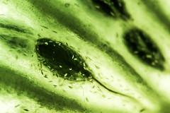 Seed (Rafał Chlebek) Tags: seed fruit macro green nikon