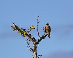 11-12-18-0041933 (Lake Worth) Tags: animal animals bird birds birdwatcher everglades southflorida feathers florida nature outdoor outdoors waterbirds wetlands wildlife wings