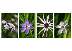 Fab four (A Different Perspective) Tags: 4 australia perth flower green gypsy macro petal purple white