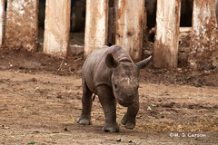 Coming At You (mjcarsonphoto) Tags: clevelandmetroparks zoo wildlife blackrhinoceros