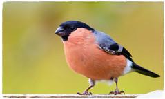 Bullfinch (M) (Pyrrhula pyrrhula) - Taken at Summer Leys Nature Reserve, Wollaston, Northants. UK (Ian J Hicks) Tags: