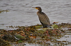 Portrait Cormorant and Lapwing. (artanglerPD) Tags: cormorant lapwing ugie estuary