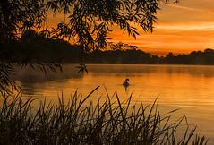 Sunrise Swim (Tracey Whitefoot) Tags: 2018 tracey whitefoot september colwick park swan nottingham nottinghamshire dawn sunrise bird swim reflection reflections lake water trees framing framed gold golden tones