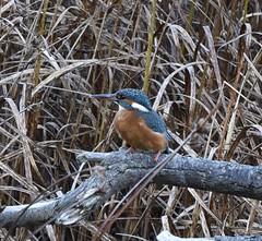 Kingfisher (j.carr90) Tags: hank you jock
