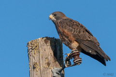 On a Wire Swainson's Hawk (MelRoseJ) Tags: lodi california unitedstates us sonyalpha sony sal70200g a77ii alpha birds woodbridgeecologicalreserve nature northerncalifornia swainson'shawk hawk