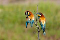 Merops apiaster, Μελισσοφάγος, European bee-eater (belas62) Tags: greece ngc rainbow loudiasriver macedonia λουδίασ μακεδονία bird