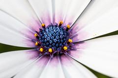 Blue core (A Different Perspective) Tags: australia perth westernaustralia blue flower macro petal purple