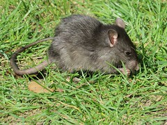 Black Rat (Shelley Penner) Tags: blackrat rattusrattus mammal rodent rat grass eating