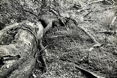 Inderø Skov ved Hald Sø 08 - Væltet træ BW (Walter Johannesen) Tags: hald sø morgen natur nature morning skov træ tree træer trees wood