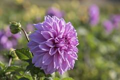 Fleurs d'automne * (Titole) Tags: dahlia purple titole nicolefaton shallowdof her wonderful capture