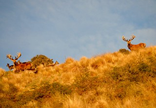 New Zealand Trophy Red Stag Hunting - Kaikoura 17