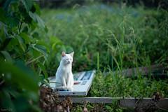 猫 (fumi*23) Tags: ilce7rm3 sony street sel85f18 85mm fe85mmf18 katze gato cat chat neko a7r3 animal bokeh dof emount ねこ 猫 ソニー 白猫