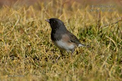 Dark-Eyed Junco (Edhorton) Tags: spring mt ranch las vegas nevada wildlife birds sapsucker sparrow junco jay blue white crowned yellow warbler