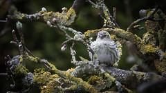 IMG_9868 (norb.j.st) Tags: 2018 erlenzeisig garten vogel