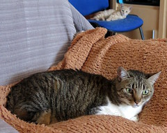385-June'18 (Silvia Inacio) Tags: mel tabby gata gatos cat cats princesa kitten