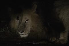 The legendary Scarface of Masai Mara. Kenya. (Raúl Barrero fotografía) Tags: masaimara afric kenya africa animal wild wildlife lion