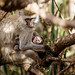 Vervet monkey & infant