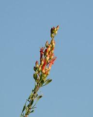 2018-09-28 Green Valley, AZ 7 (JanetandPhil) Tags: 20180910artxaznmvacation flowerphotos nikon nikkor d800 800mmf56 greenvalleyaz flowers ocotillo fouquieriasplendens